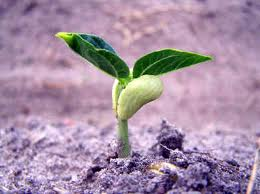 semis de petits pois