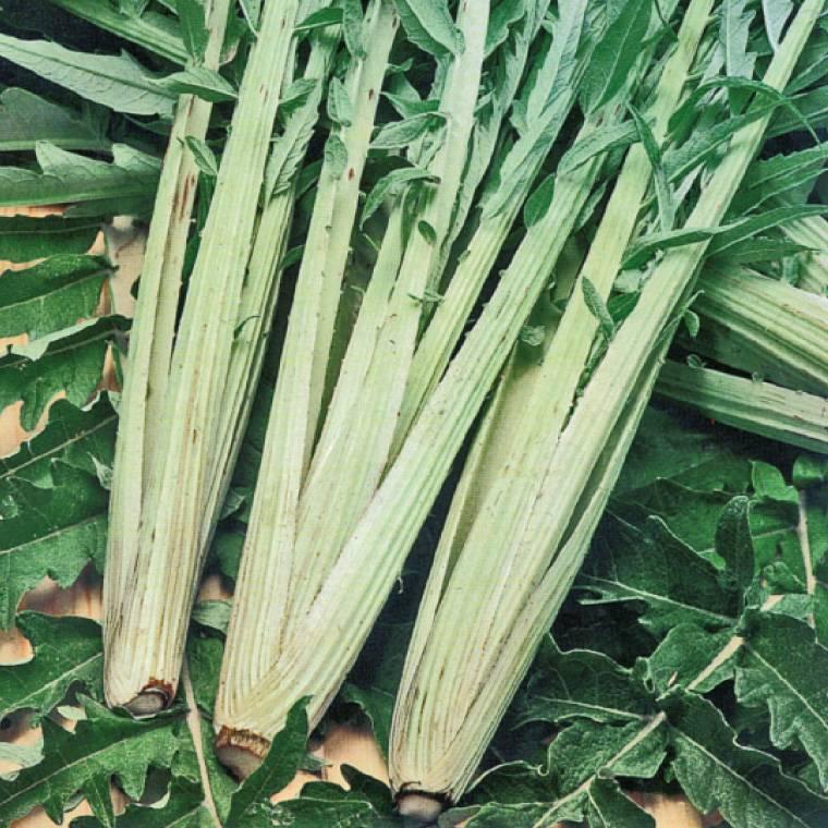 Cardon, légume d'antan à cultiver au potager