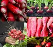 Radis : comment les planter et quand ?