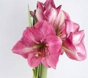 Fleurs d'amaryllis rose - Hippeastrum Vittatum