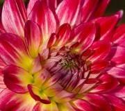 dahlia rose sombre gros plan, teintes de jaune