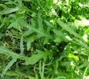 roquette salade, au potager
