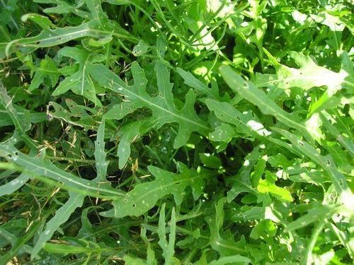 roquette salade