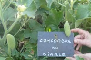 concombre du diable jardin potager de l'abbaye de celles sur belle