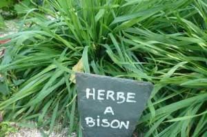 herbe a bison jardin potager de l'abbaye de celles sur belle