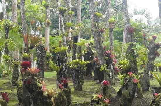 bromeliacees sur arbre
