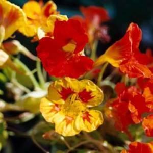fleur de capucine naine tom pouce, comment cultiver les Capucines