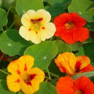 fleur de capucine naine double variee, comment cultiver les Capucines