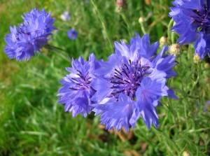 bleuets, comment cultiver les bleuets