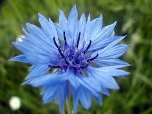 le bleuet conseils et astuces pour une belle floraison. Black Bedroom Furniture Sets. Home Design Ideas