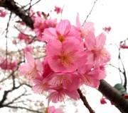 jolie fleur rose pommier