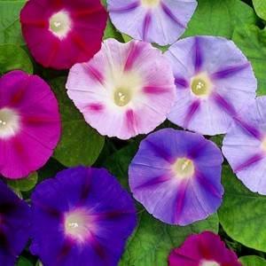 Fleur Ipomée, comment cultiver les ipomées