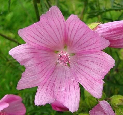 Lavateres roses - comment cultiver les lavatères à grande fleur variée