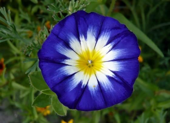 fleur belle de jour de face bleue et jaune au centre