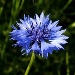bleuets Centauree Cyanus, comment cultiver les bleuets