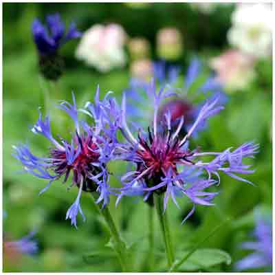 joli bleuet centauree cyanus blue boy, comment cultiver