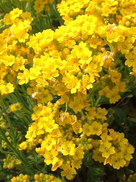 Alysse corbeille d'or - comment les cultiver