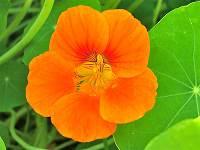 fleur de capucine, comment cultiver les Capucines