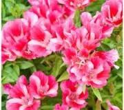 Godetia double a fleur d'azalee, comment cultiver