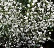 gypsophile élégant blanc ou rose comment le faire pousser