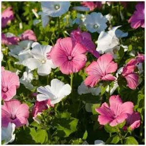 lavatere a grande fleur variee