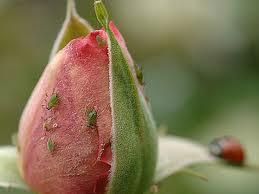 Comment combattre contre l'impact des pucerons sur une fleur