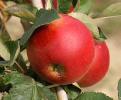 pommes Arthur Turner- astuces pour tailler son pommier