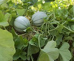 melon dans le potager