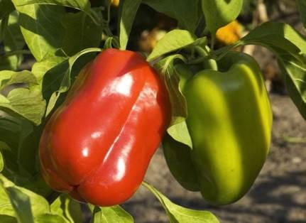 poivrons - comment les cultiver