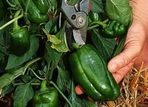 récolte de poivron