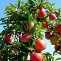 pommier avec des pommes- astuces pour tailler son pommier