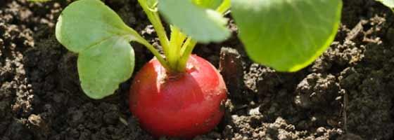 Comment cultiver des radis