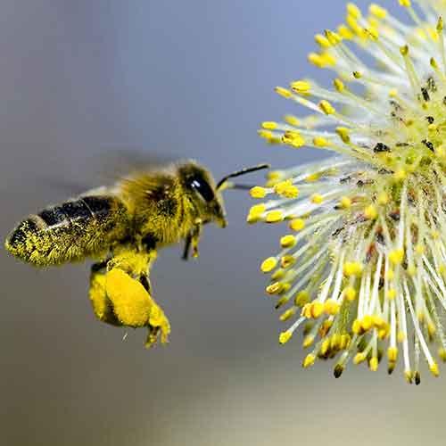 Abeille en vol recouverte de pollen approchant fleur de saule.