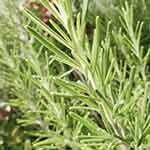 romarin, plante aromatique