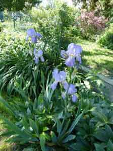 très jolis iris