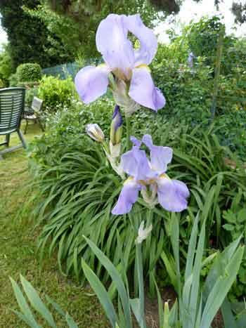 des iris jaune pales
