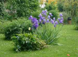 iris bleu ou mauve