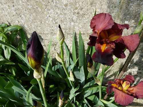 iris à la fleur mauve