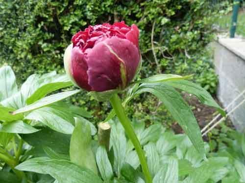 jolie pivoine rose sombre pas totalement ouverte
