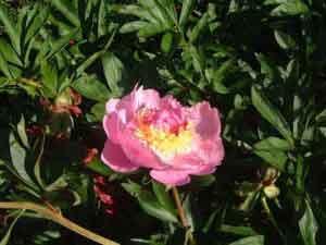 pivoine rose, interieur jaune