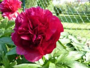 pivoine rose sombre ouverte