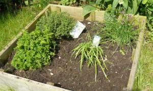 plantes aromatiques dans carré potager
