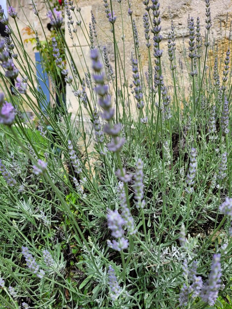 lavande plante zoom