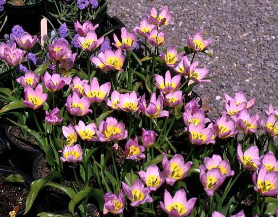 tulipe saxatilis