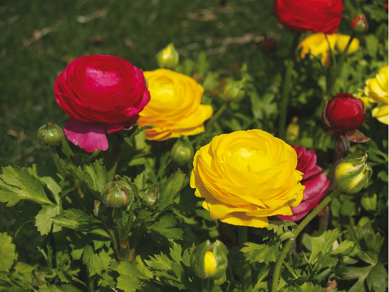 renoncules jaunes et rouges