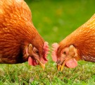 POules en face à face mangeant des graines