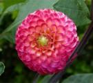 dahlia pompon rose