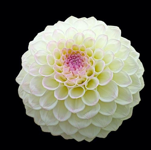Dahlia Pompon snowflake blanc -credits godrick
