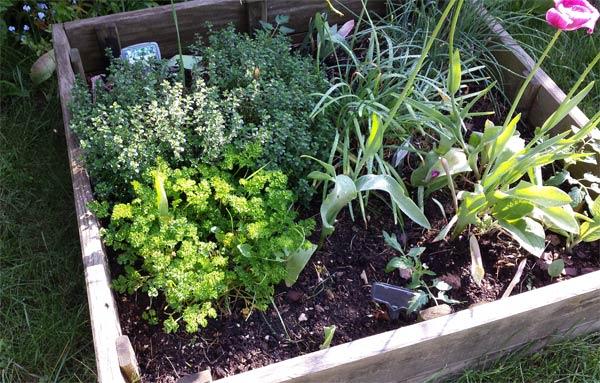 comment planter le persil dans carré potager 2