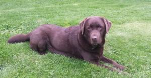 bayag chien guide d'aveugle